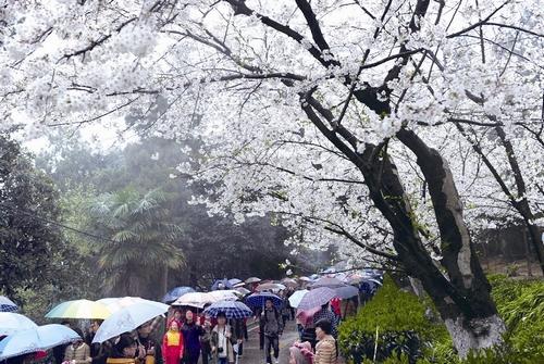 外地赏樱客蜂拥来汉 昨5万游客涌入武大赏樱花
