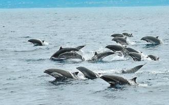 台湾赏鲸游登场 首航遇500只海豚游客惊呼