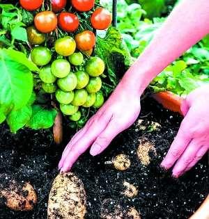 根部长土豆 枝头结西红柿