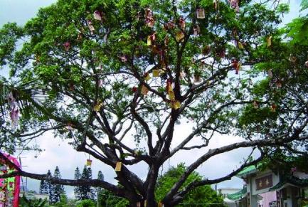 秘游香港之TVB景观游:大埔林村许愿树