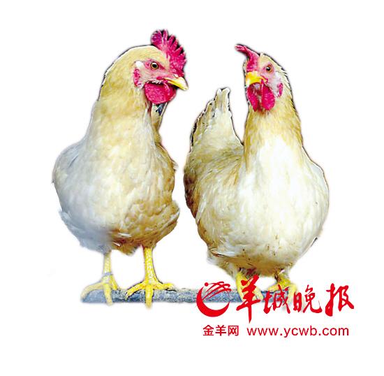 广东专家预测:未来数月人染H7N9禽流感风险明显增加