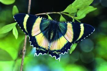 蝴蝶假装有毒全仗超级基因