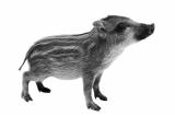 港人闹市遛野猪 被告虐畜