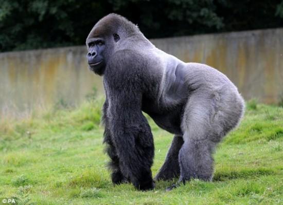 英国大猩猩喜直立行走 24岁220公斤
