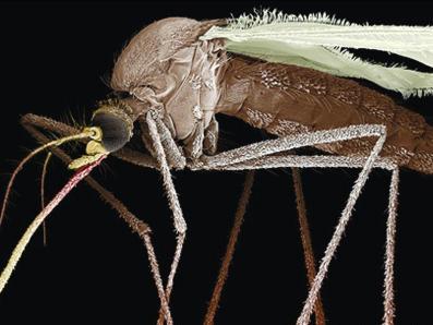 以蚊治蚊 中大研发阻隔登革热新技术