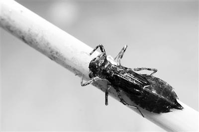 餐馆吃虾吃出蟑螂 专家称系蜻蜓幼虫