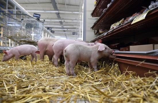 法国猪农带小猪到超市示威