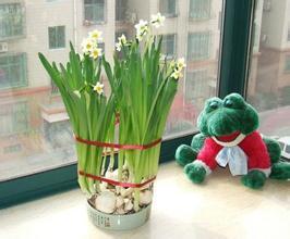 英国吁将水仙花与蔬菜分开放 防华人错食
