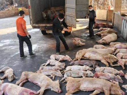 福建2千吨病死猪肉流向餐桌