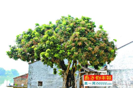 桂圆树盆栽图片大全