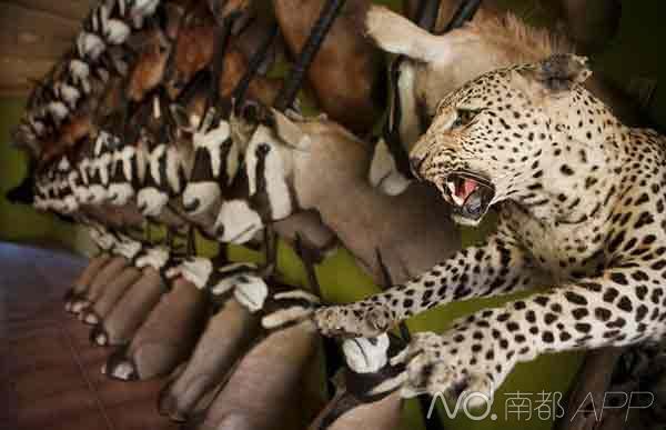 揭秘非洲血腥动物标本加工厂