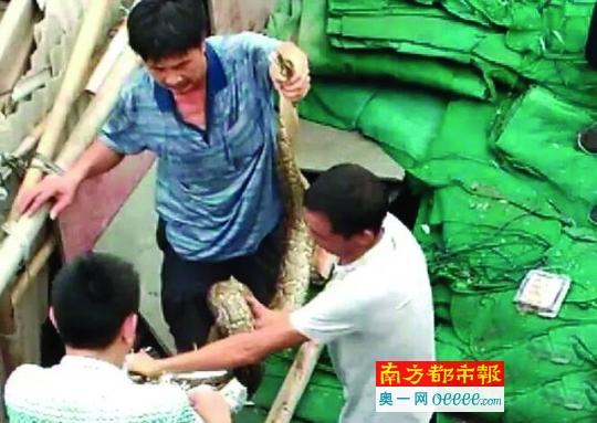 惠州市区蟒蛇频出没 市林业局称与生态环境变好有关