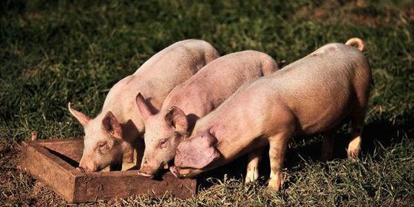 猪器官移植人体 梦想何时照进现实