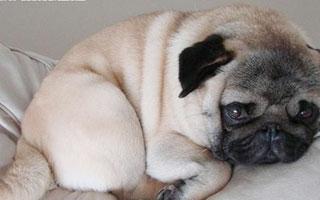 一胖毁所有 肥胖宠物的日常管理需要注意什么?