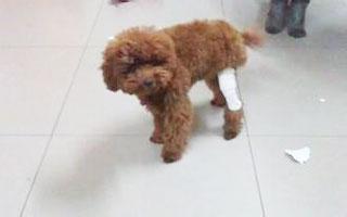 狗狗髌骨脱位知多少?听宠物医生怎么说