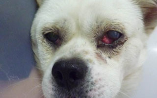 狗狗第三眼睑腺脱出 是切除还是包埋?