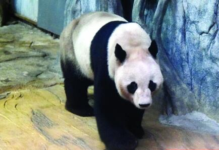 """""""海归""""大熊猫入住深圳野生动物园"""