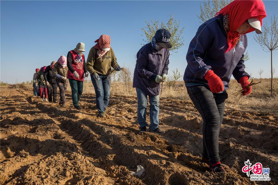 沙漠里的春耕,库布其大力发展甘草生态建设,农牧民种下的甘草不仅用作药材,还能防风固沙,改良土壤,让贫瘠的沙漠变成绿色银行。乔治· 斯坦梅茨 摄