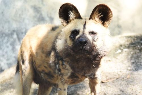 非洲野犬落户深圳野生动物园