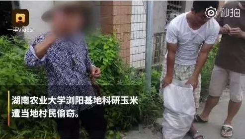 湖南高校实验玉米被村民偷摘,学生气到住院