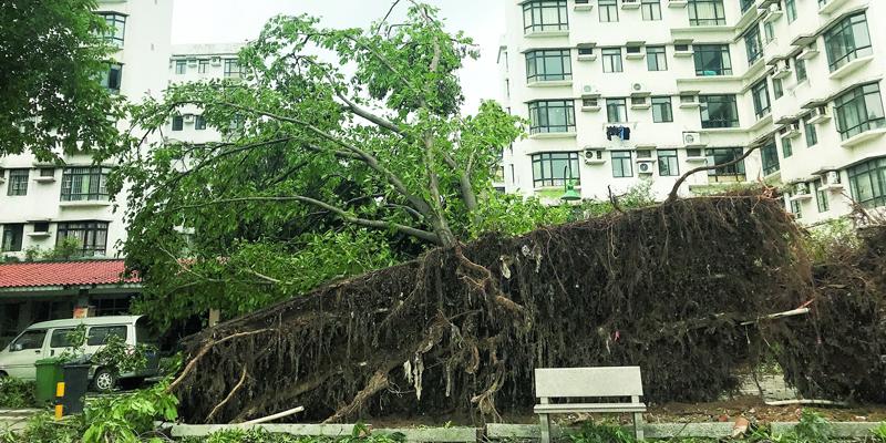 广州7千大树倒伏市民心痛:树怎么办,要防风要遮荫还要好看