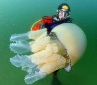 英国海岸惊现35公斤大水母