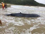 重4吨虎头鲸被台风吹上广东海岛搁浅